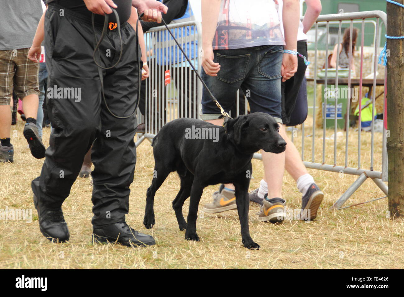 A sniffer dog and handler search for illegal drugs at the Y Not music festival entrance during a routine security - Stock Image