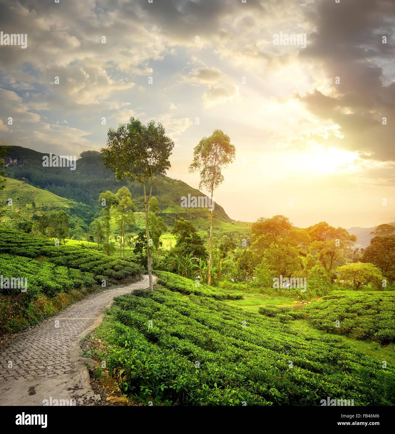 Green tea plantations in Nuwara Eliya and clouds - Stock Image