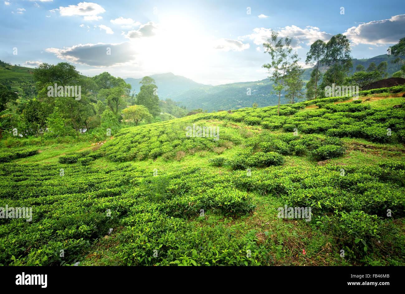 Tea fields of Nuwara Eliya in mountains - Stock Image