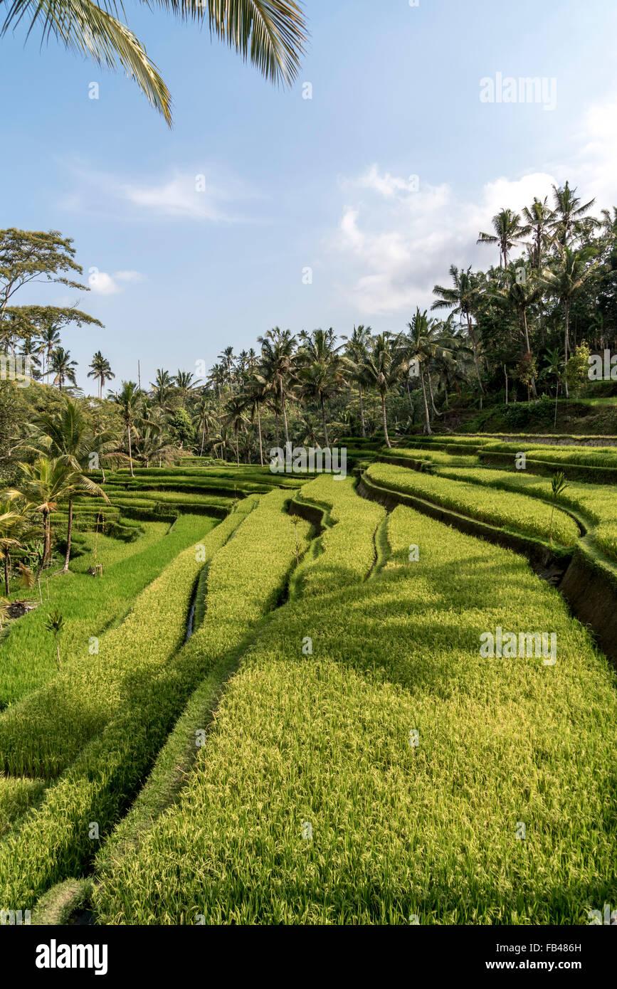 Rice Terraces at Gunung Kawi Temple, Tampaksiring near Ubud, Bali, Indonesia - Stock Image