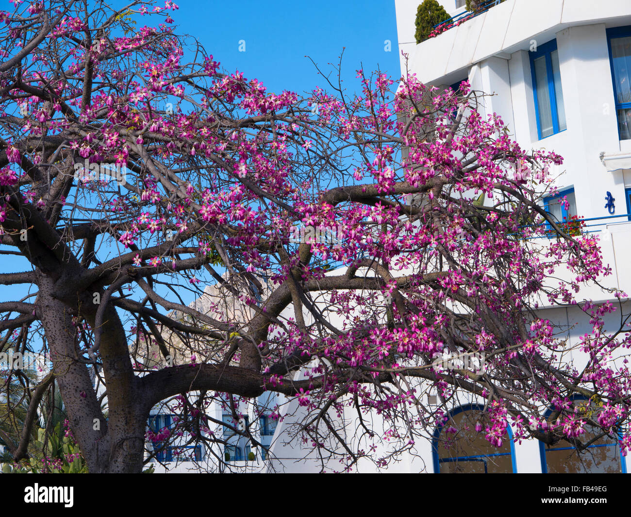 Avocado Tree With Its Pink Flowers In Marbella On The Costa Del Sol