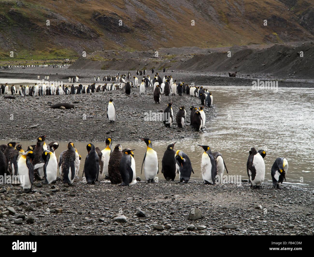 South Georgia, Cumberland Bay, Jason Harbour, King Penguins - Stock Image