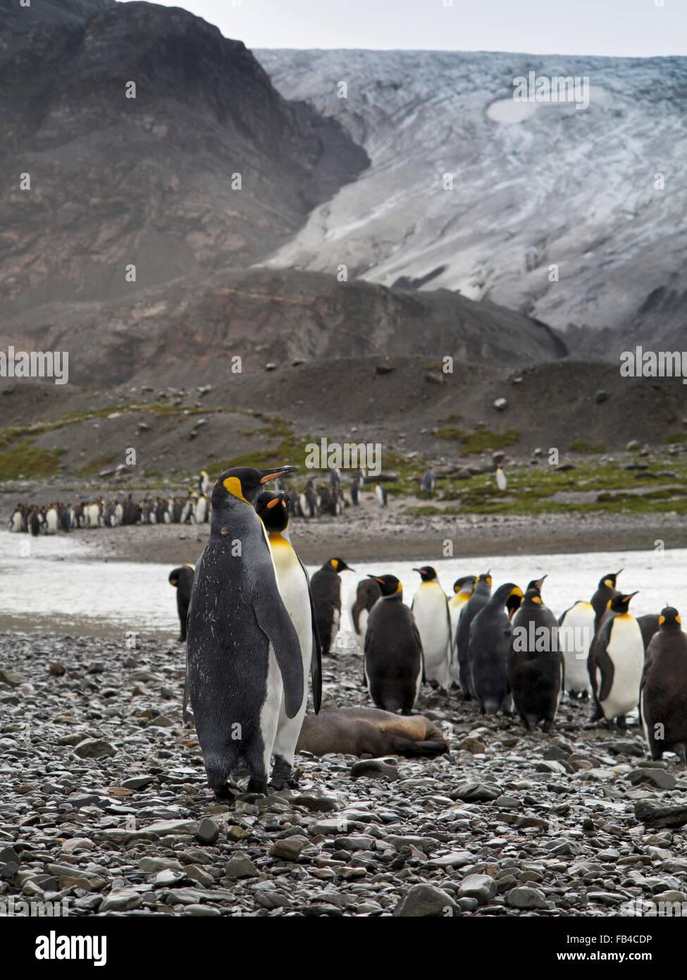 South Georgiaberland Bay Jason Harbour King Penguins Below Glacier