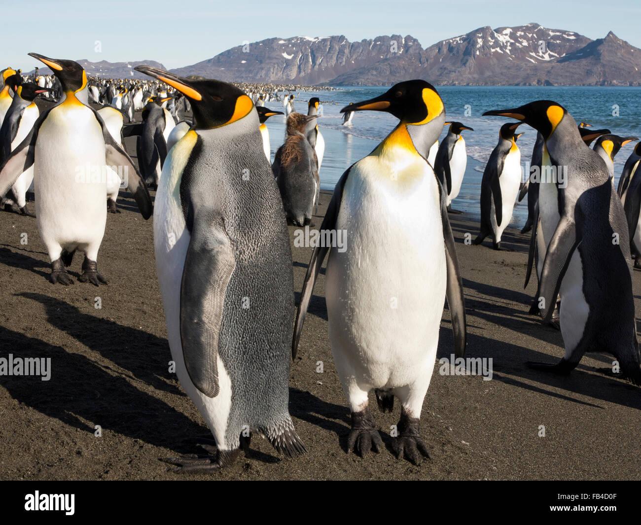 South Atlantic, South Georgia, Bay of Isles, king penguins on Salisbury Plain beach - Stock Image