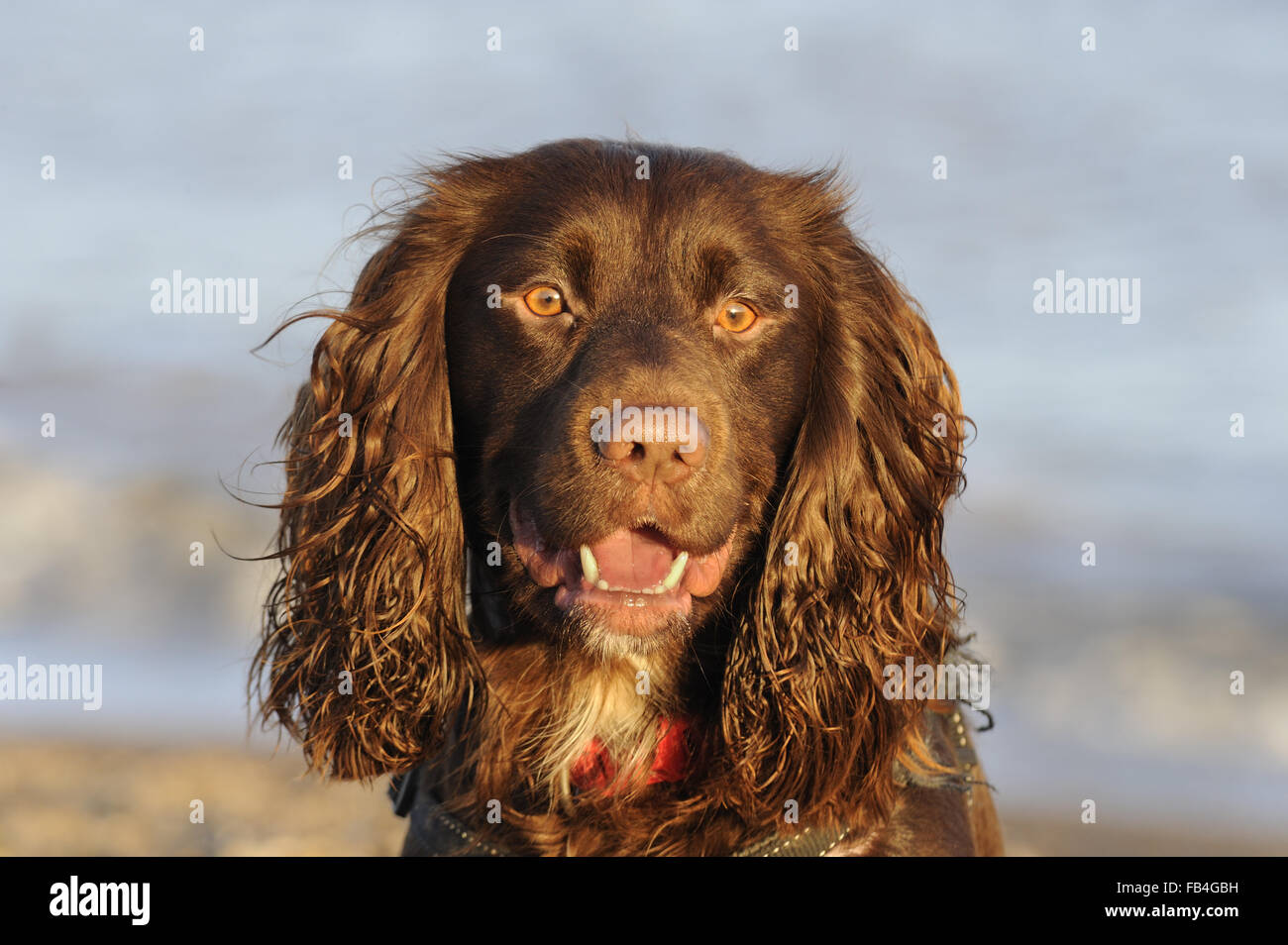 Domestic Dog, Working Cocker Spaniel type, portrait, photographed at Aldeburgh, Suffolk, England, Dec 2015 Stock Photo