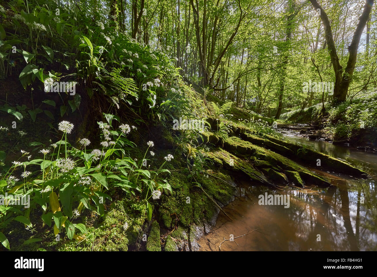 Ancient Woodland in Spring with Ramsons - Stock Image