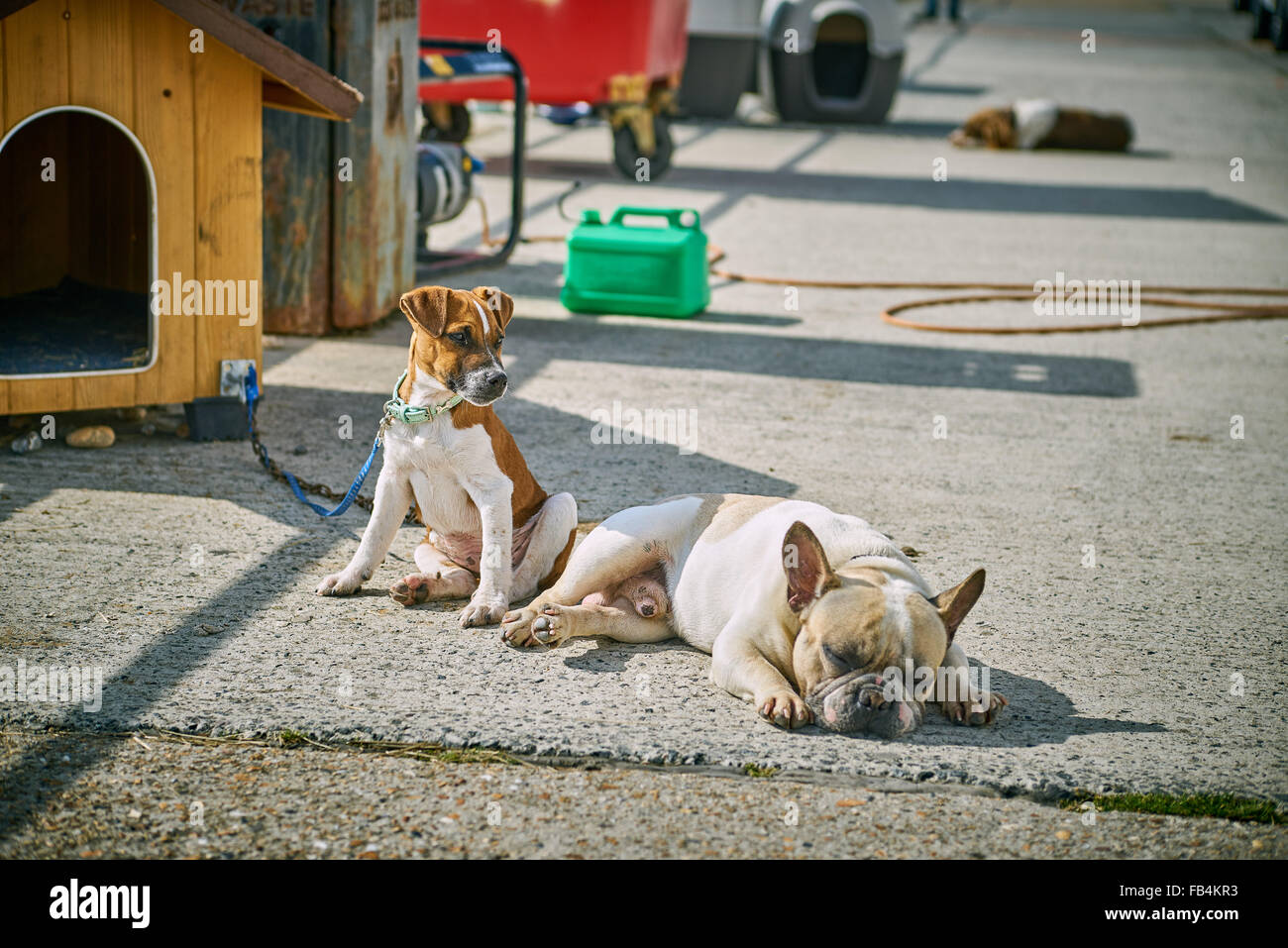 Puppy dogs resting in the sun outside their kennel - Stock Image
