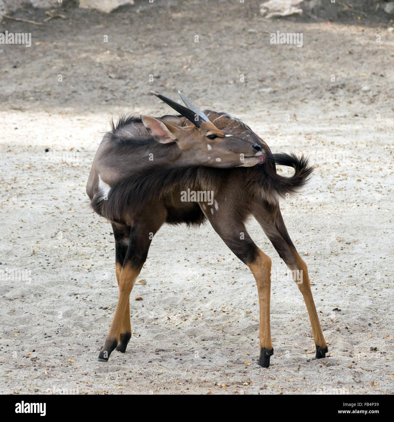 Male nyala (Tragelaphus angasii) licking his tail - Stock Image