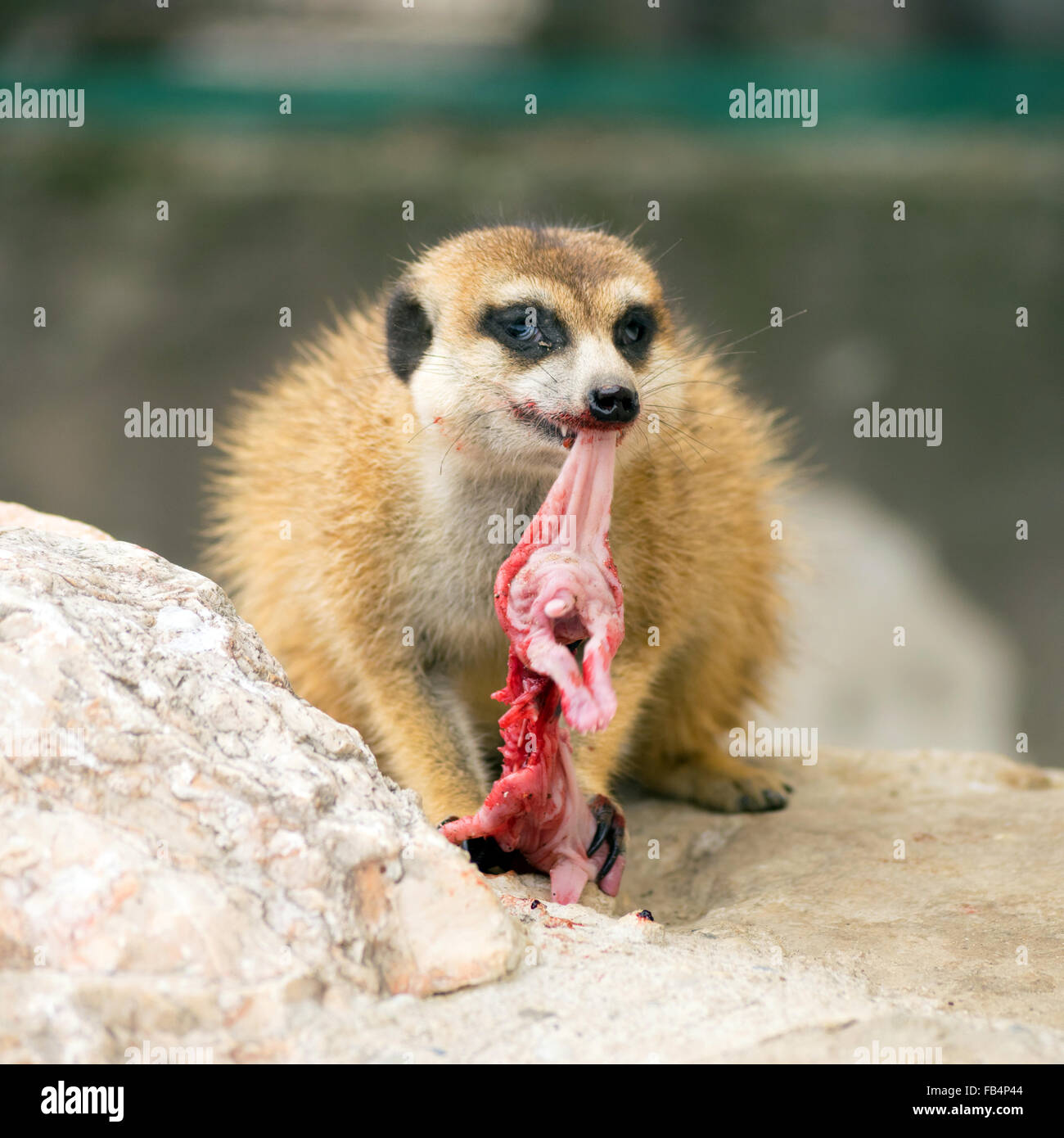 Meerkat (Suricata suricatta) eating a baby bunny - Stock Image