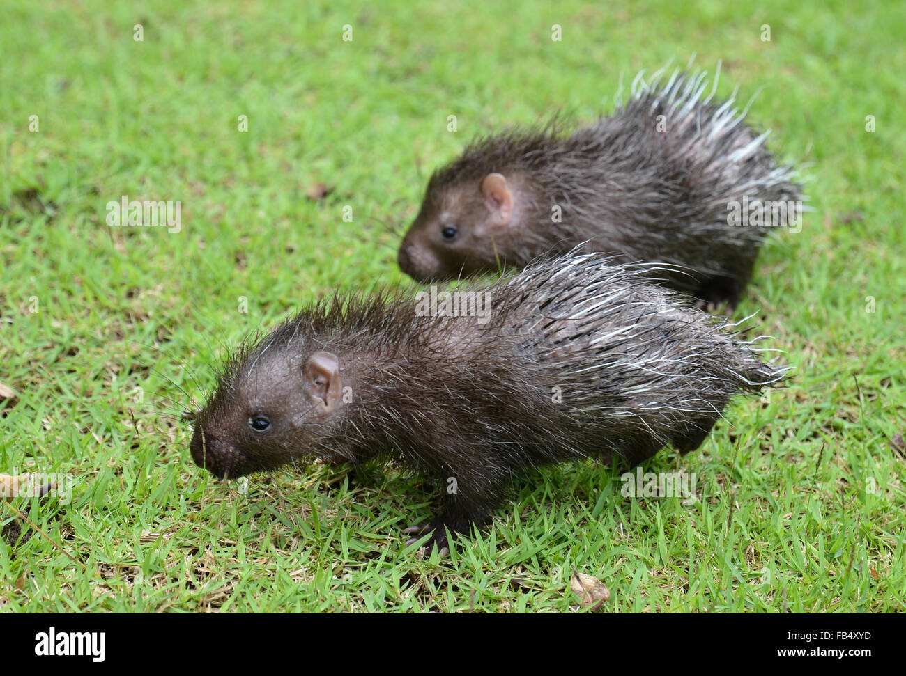 baby porcupine ( Hystrix brachyura ) walking on green grass - Stock Image
