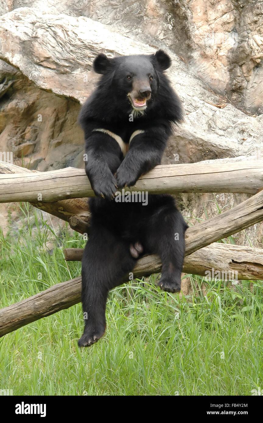 asiatic blackbear - Stock Image