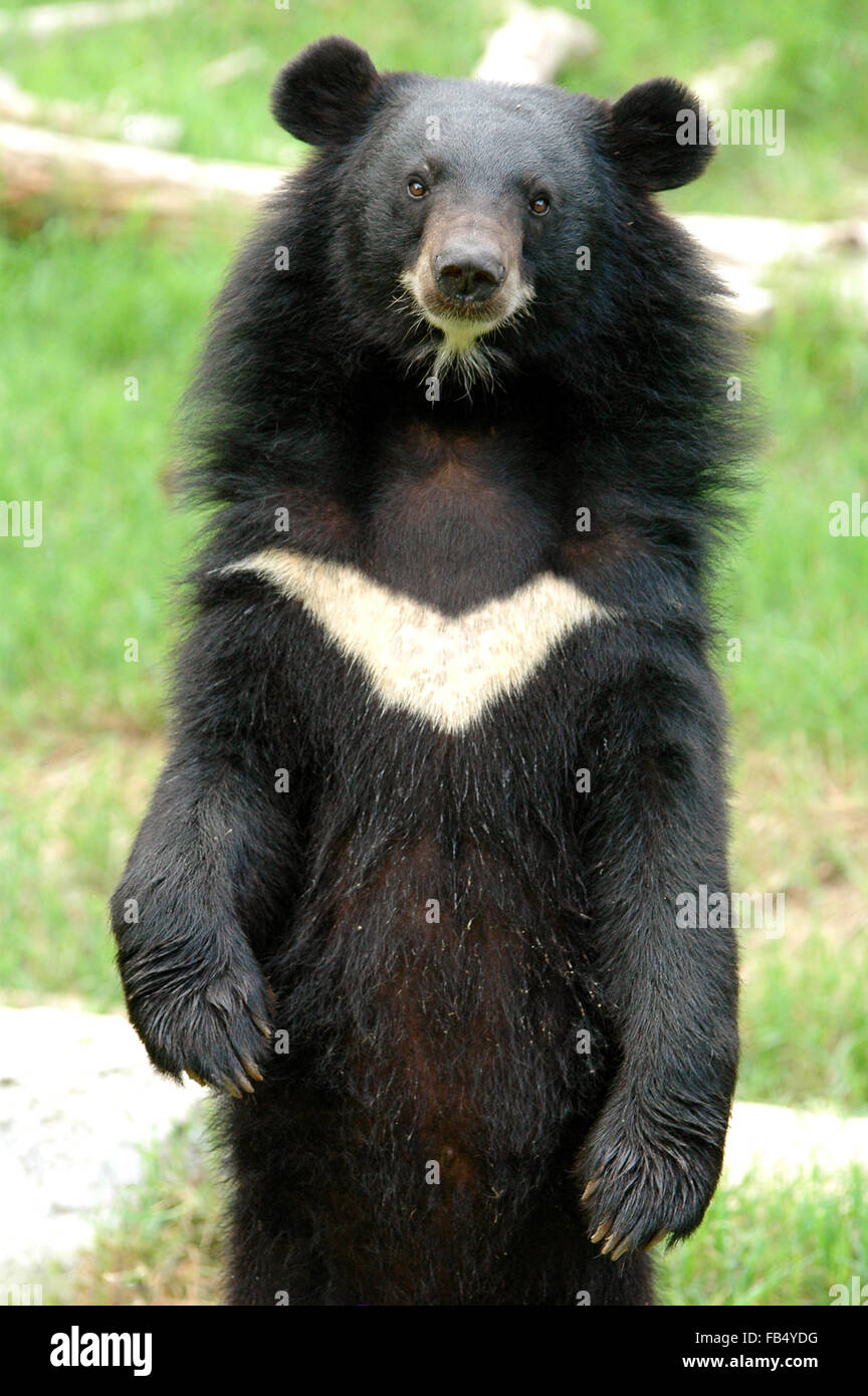 asiatic blackbear - Stock Image