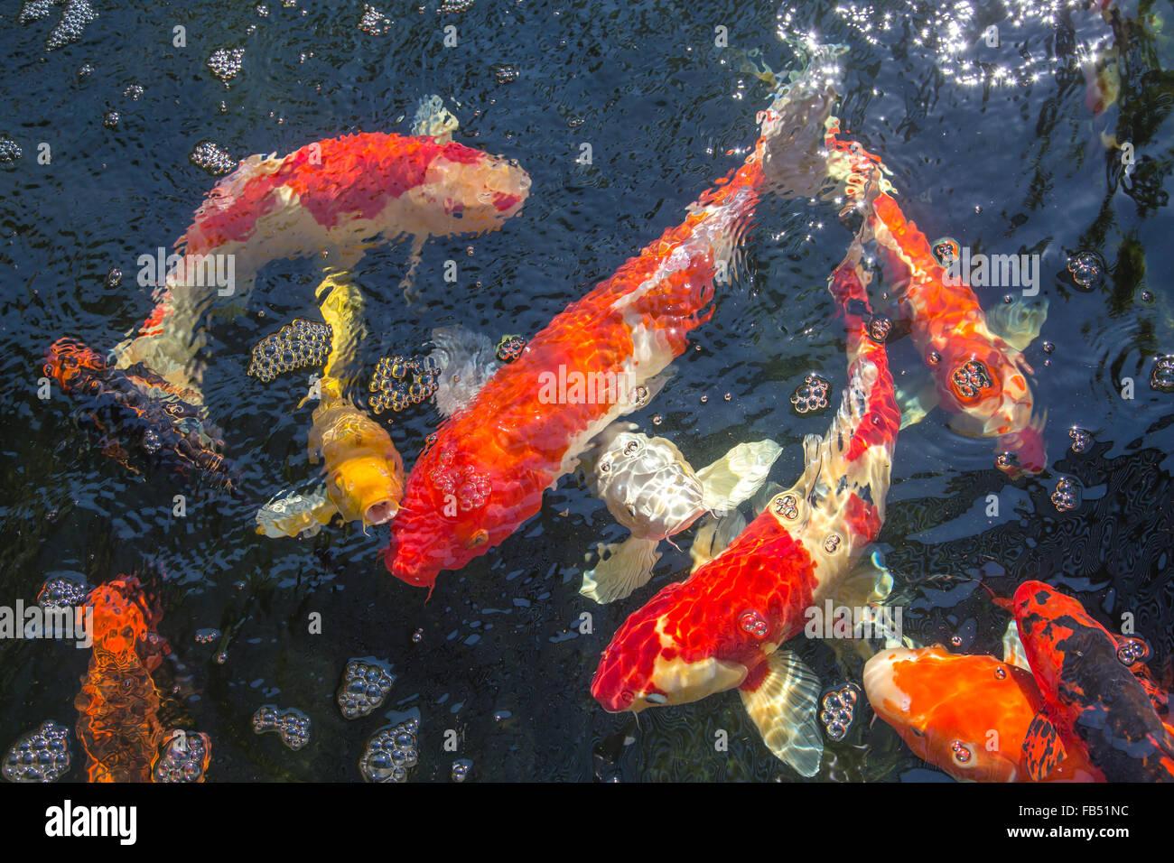 Carp Orange Koi Fish Stock Photos & Carp Orange Koi Fish Stock ...