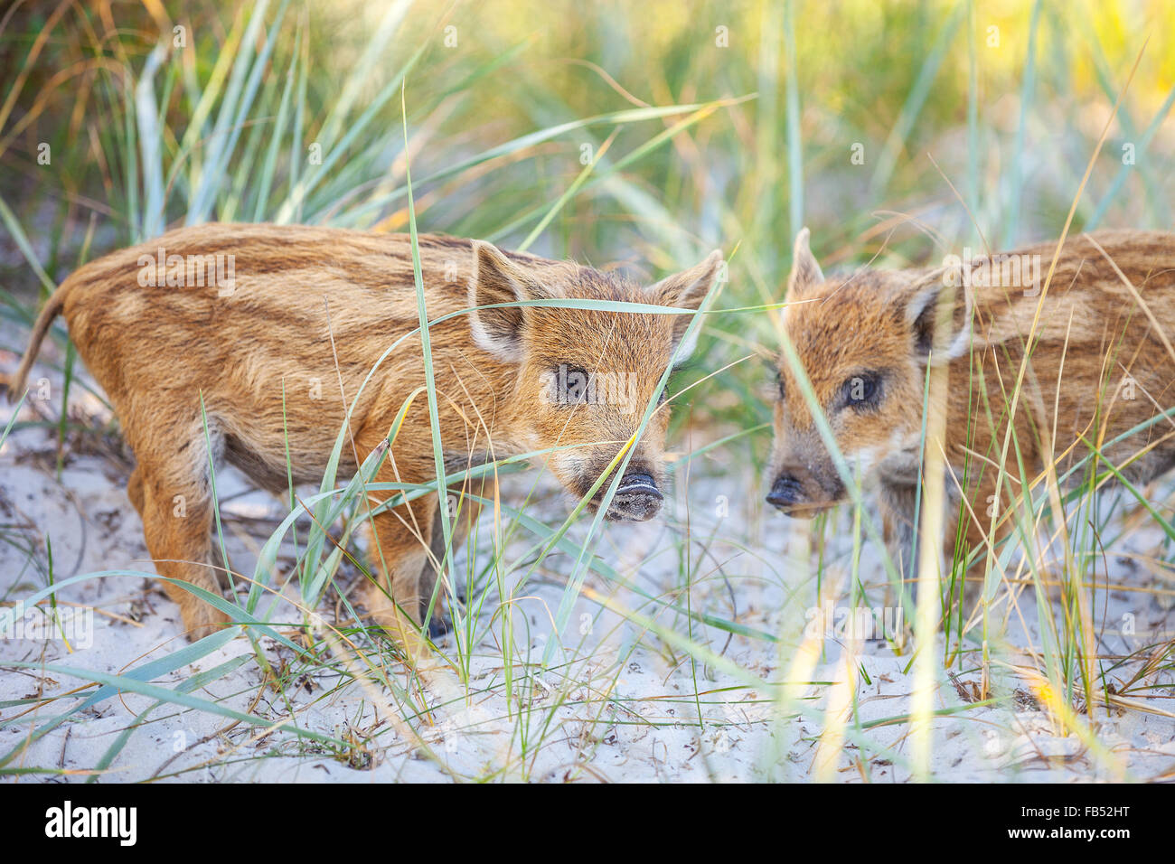 Wild piglets on a summer day - Stock Image