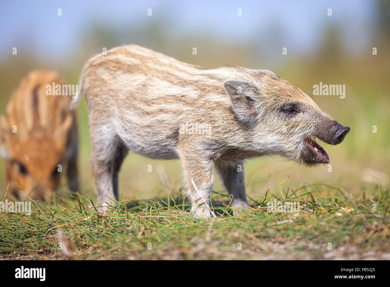 Two wild piglets on a summer day, the one on the foreground making calls - Stock Image