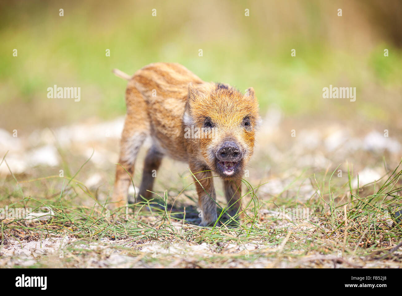 Wild piglet making calls on summer day - Stock Image