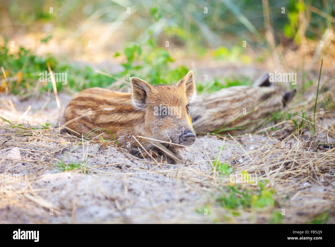 Wild piglets resting in shade on hot summer day - Stock Image
