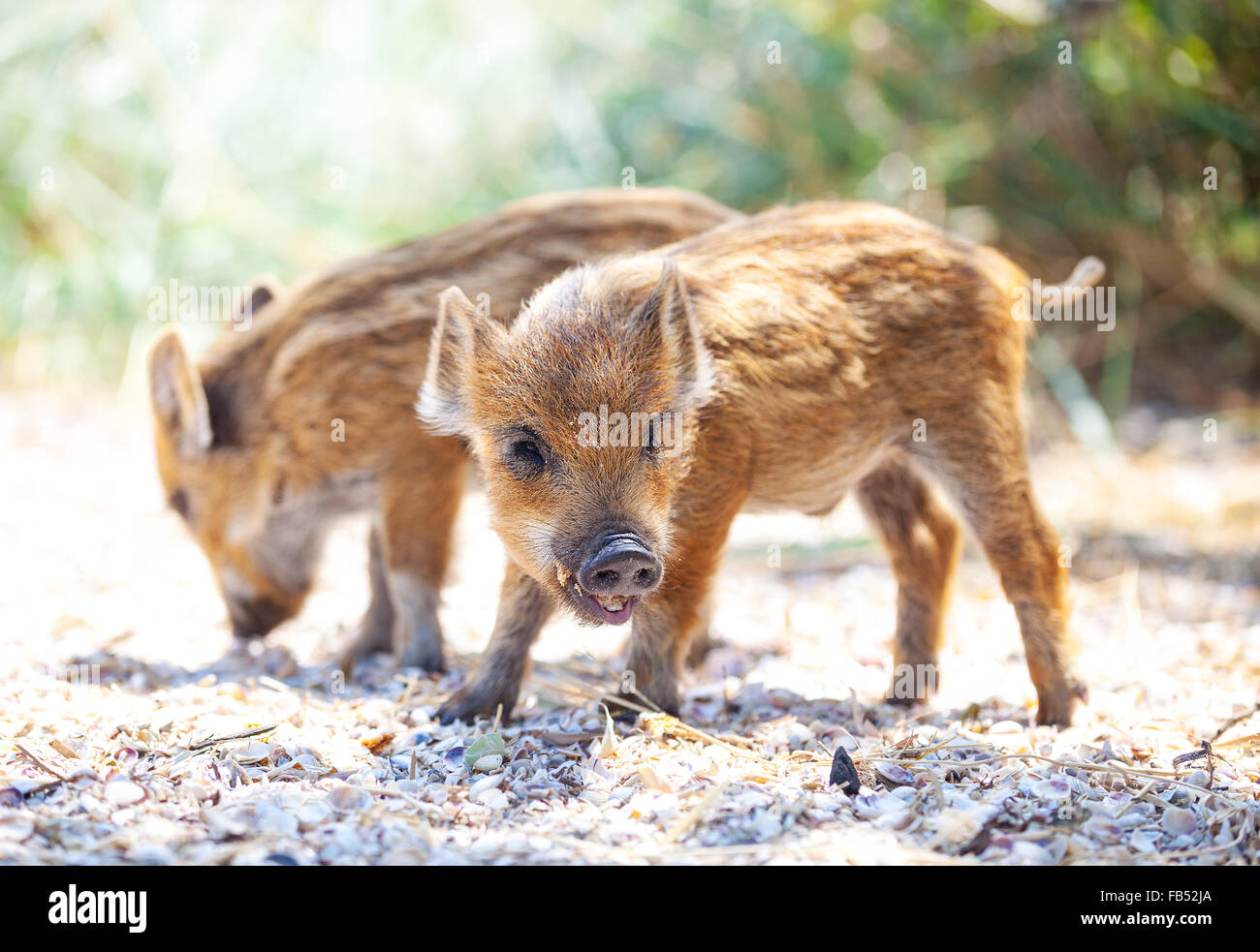 Two wild piglets eating food remains from the ground - Stock Image