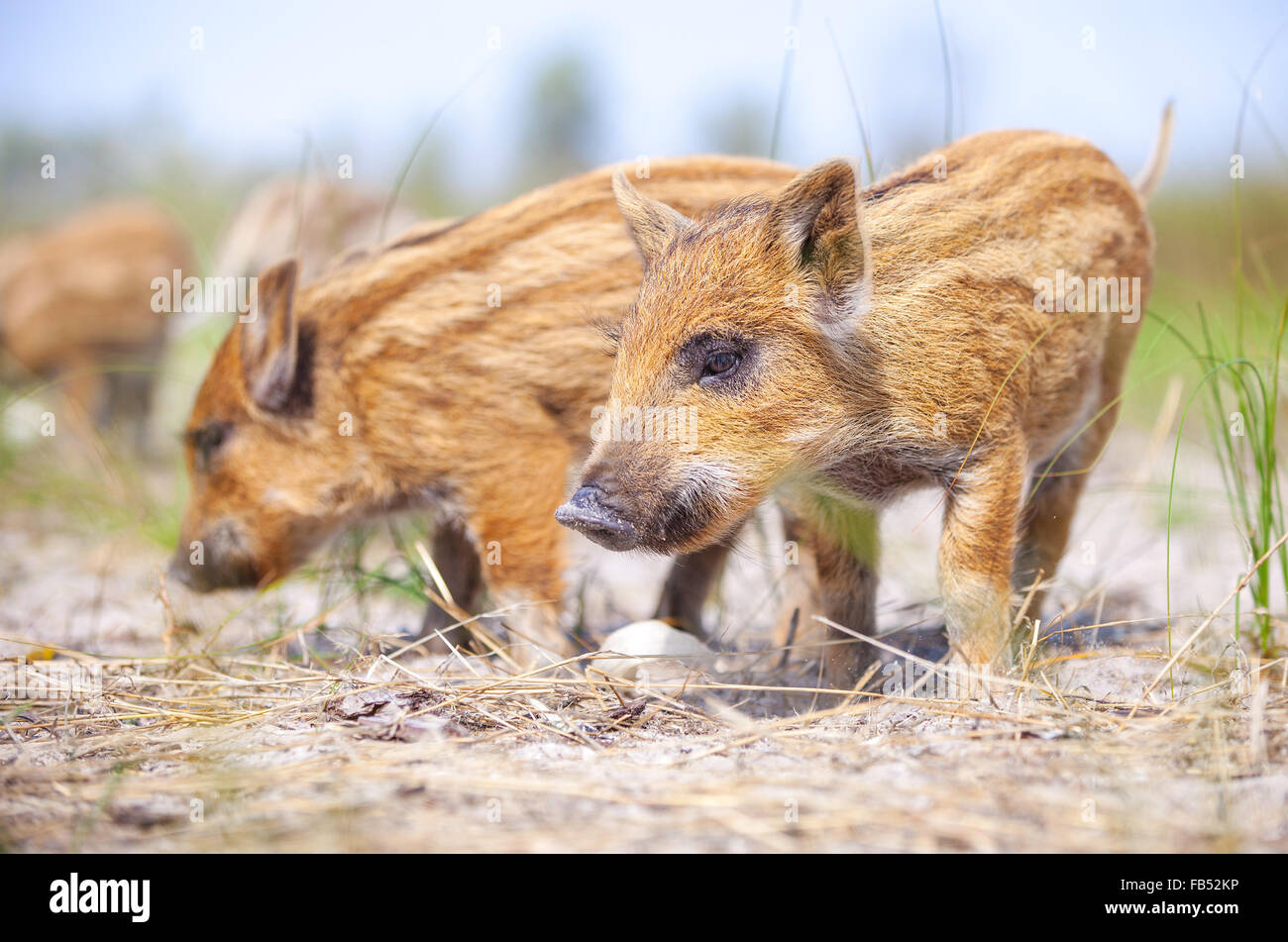 Wild piglets on summer day - Stock Image