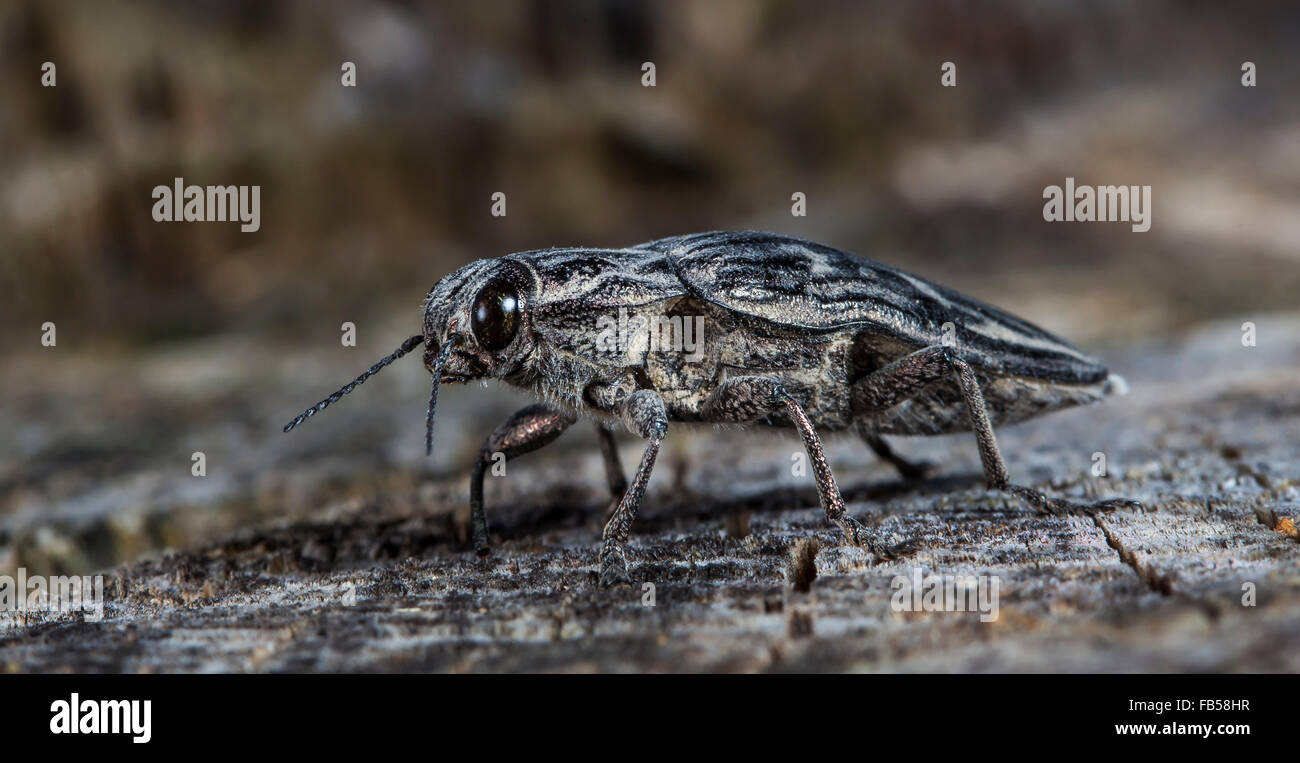large bug the bark beetle on an old log - Stock Image