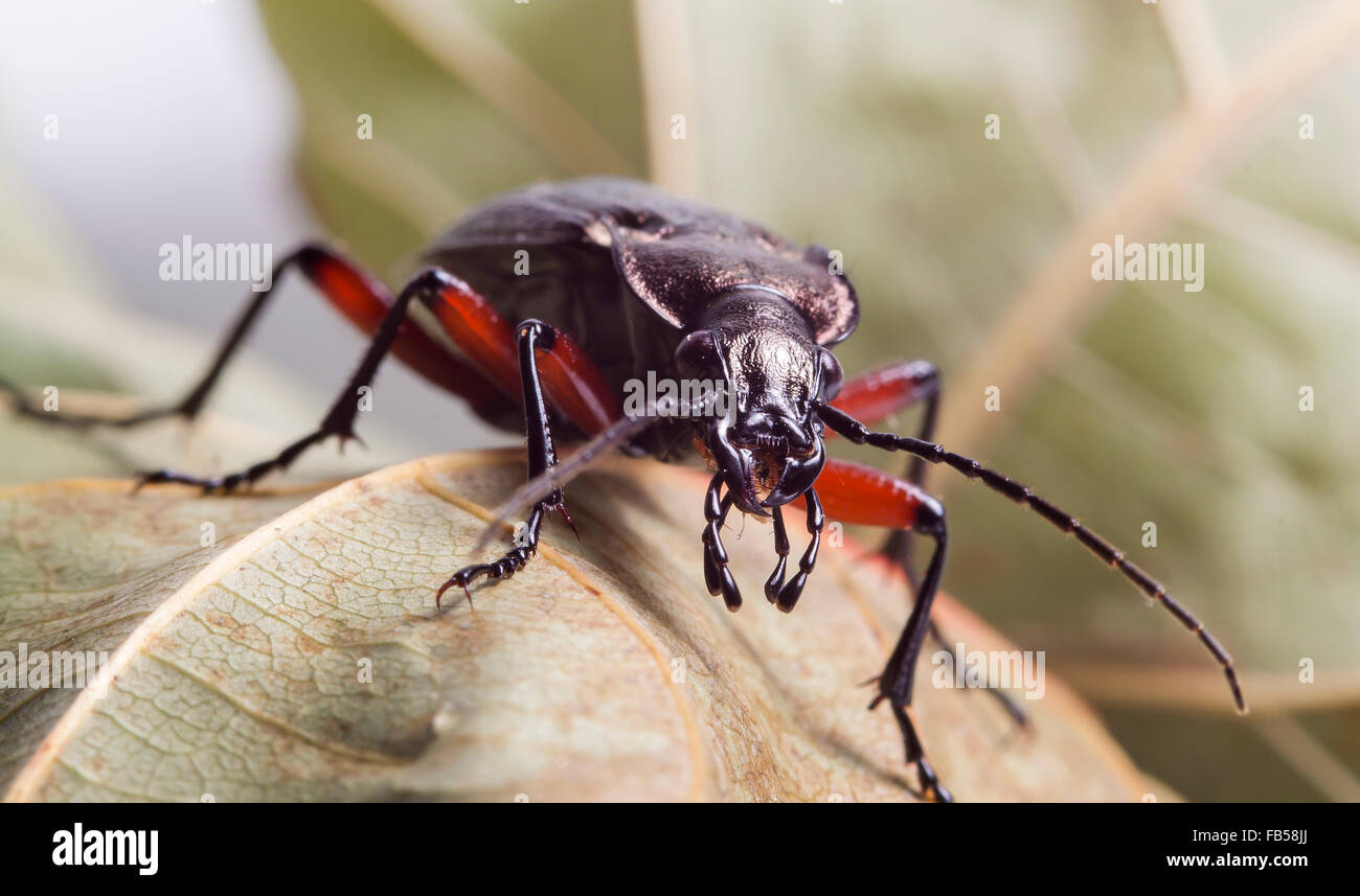 living ground beetle - Stock Image