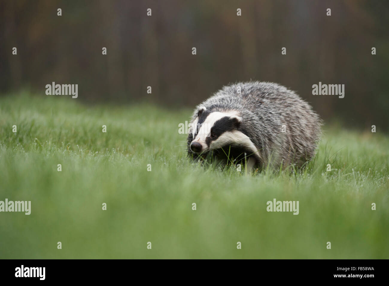 European Badger /  Europaeischer Dachs ( Meles meles ) walks over a dew wet pasture, low point of view. - Stock Image