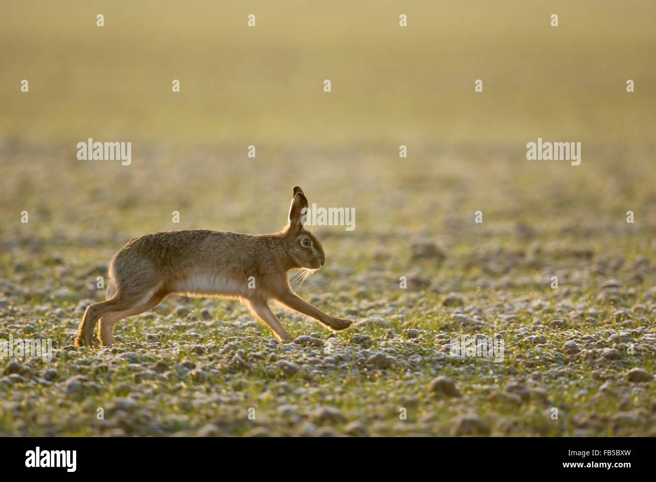 Brown Hare / European Hare / Feldhase ( Lepus europaeus ) running over a field of winter wheat, in soft backlight - Stock Image