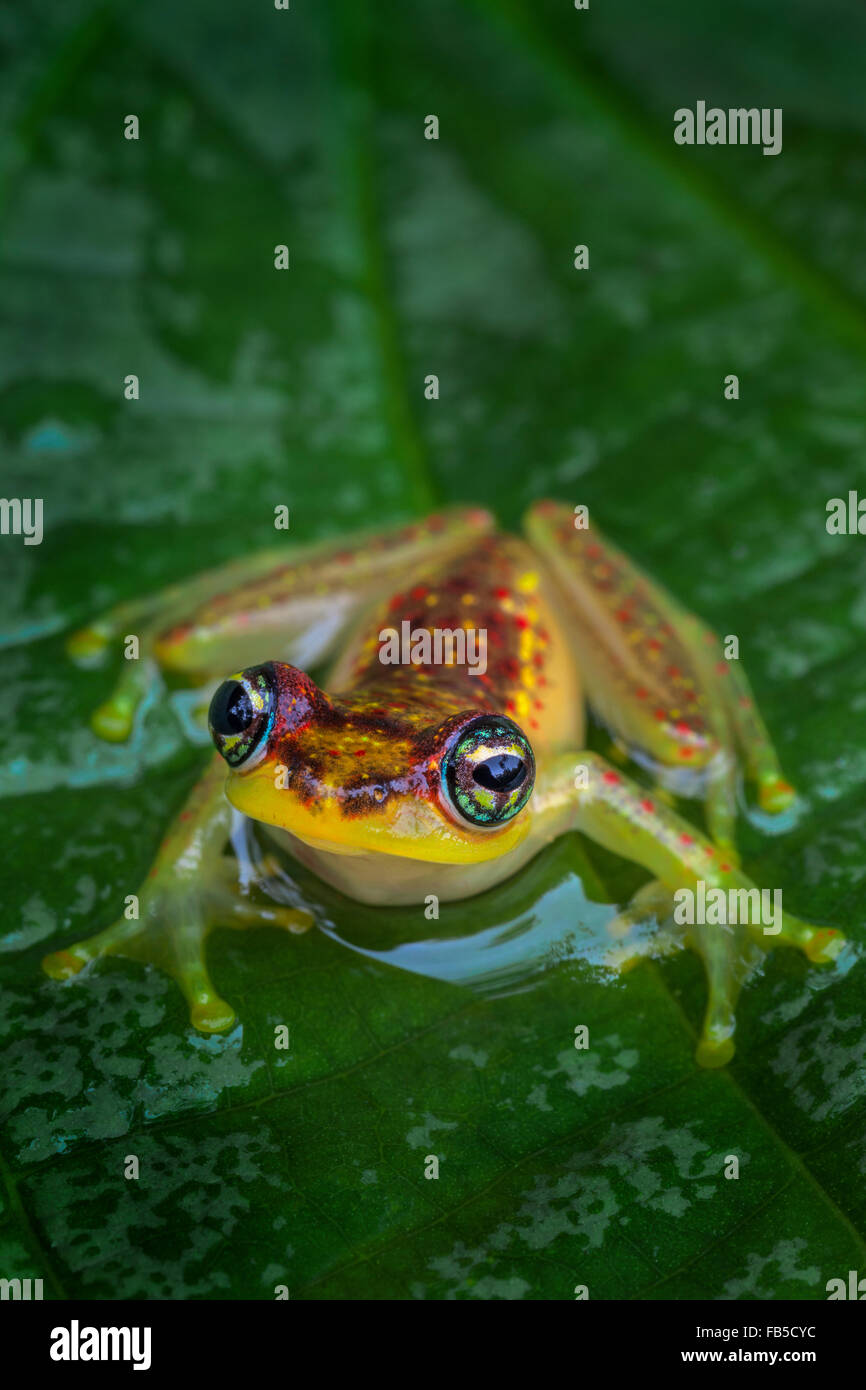 A tiny tree frog on a leaf, Andasibe National Park, Madagascar. - Stock Image