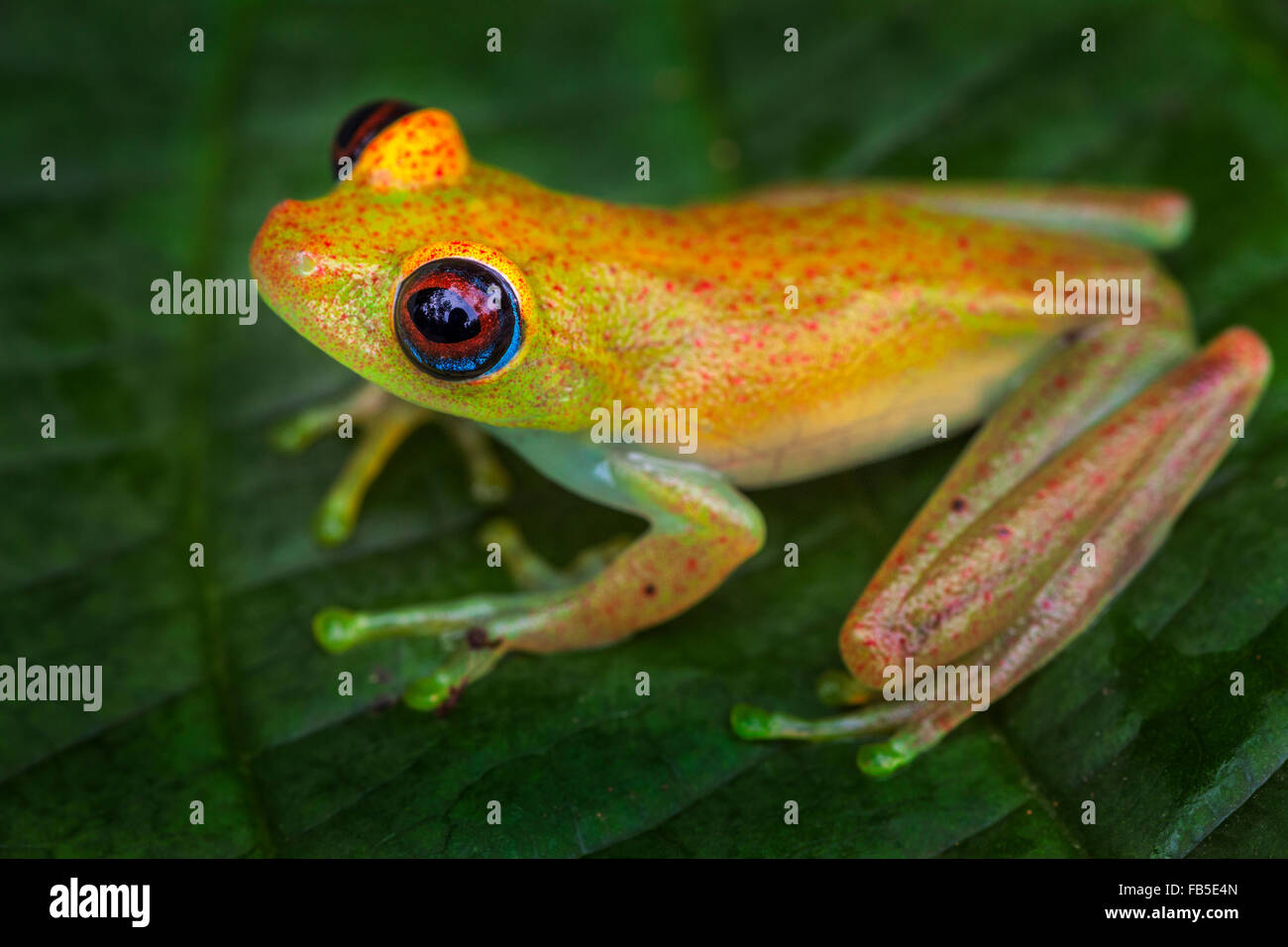 A tiny tree frog on a leaf, Andasibe National Park, Madagascar. - Stock Image