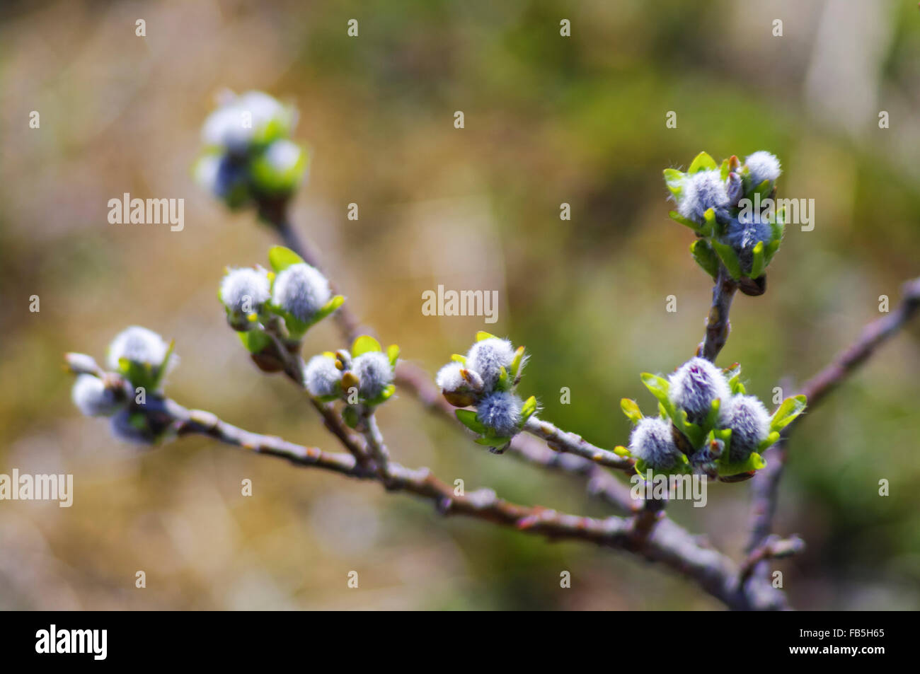 Twig of a deciduous bush in spring. Aleutian Islands, Alaska, USA. - Stock Image