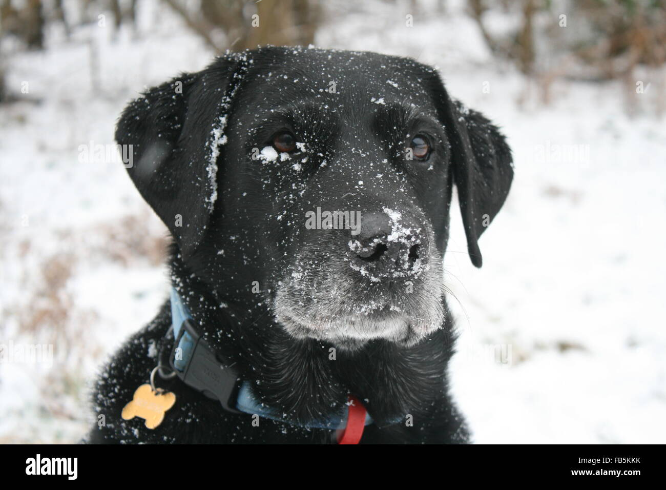 A BLACK LABRADOR COVERED IN SNOW,A CLOSE-UP PHOTO OF HIS HEAD AND ...