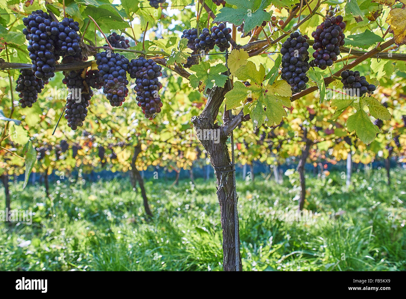 Grape Vines With Ripe Black Grapes At Wiston Vineyard Sussex