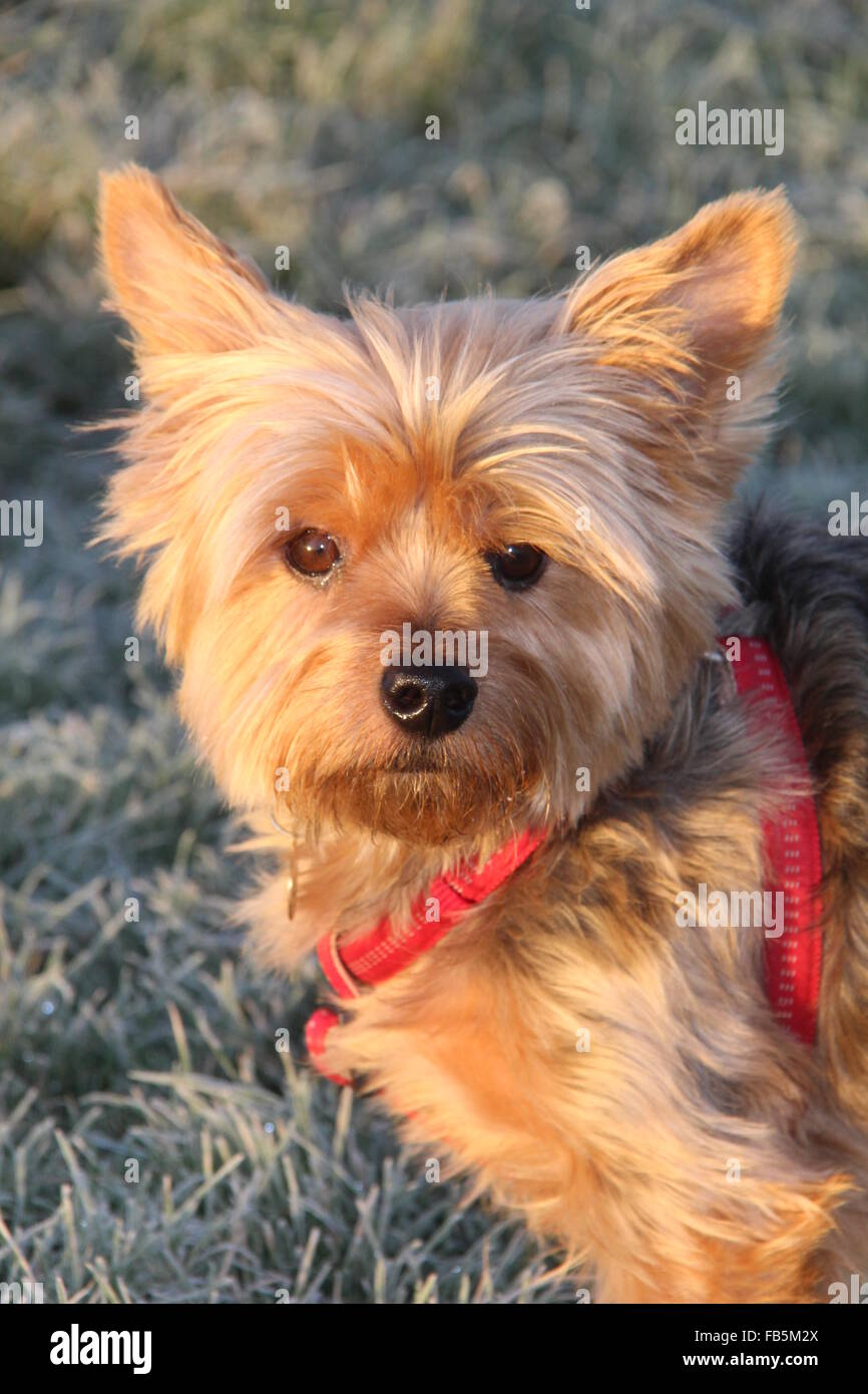 A SUNNY PORTRAIT PHOTO OF A YORKSHIRE TERRIER MALE DOG ON A FROSTY MORNING WEARING A RED HARNESS AND LOOKING AT - Stock Image