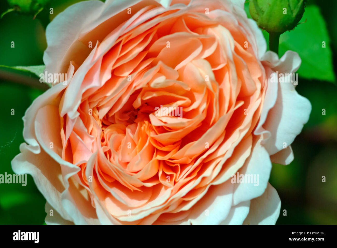 Abraham Darby Rose full blossom Stock Photo