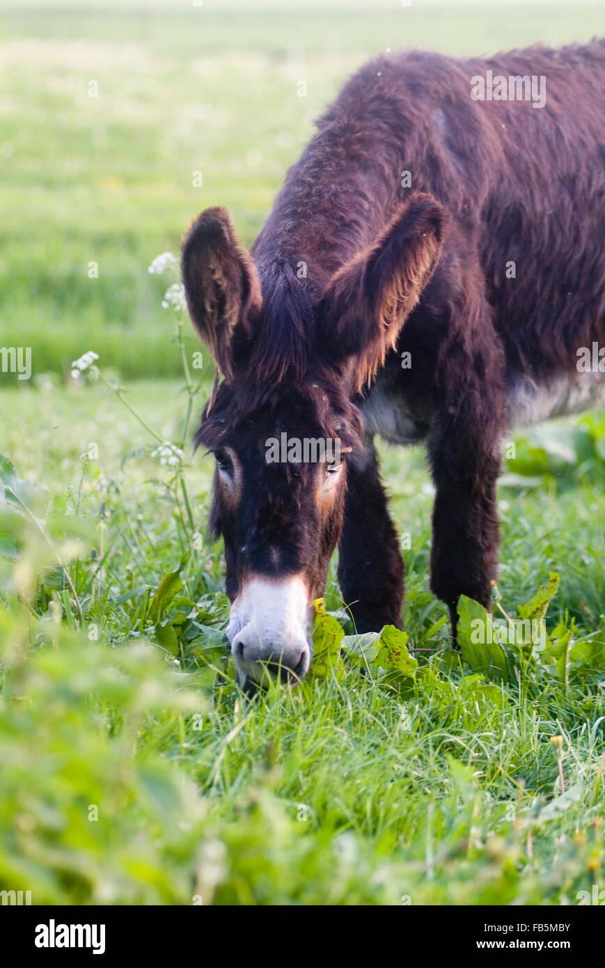 Donkey (Equus asinus) Stock Photo