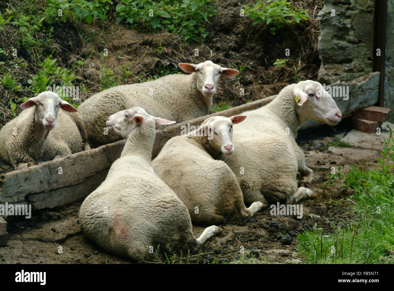 Sheep herd flock at watering place - Stock Image