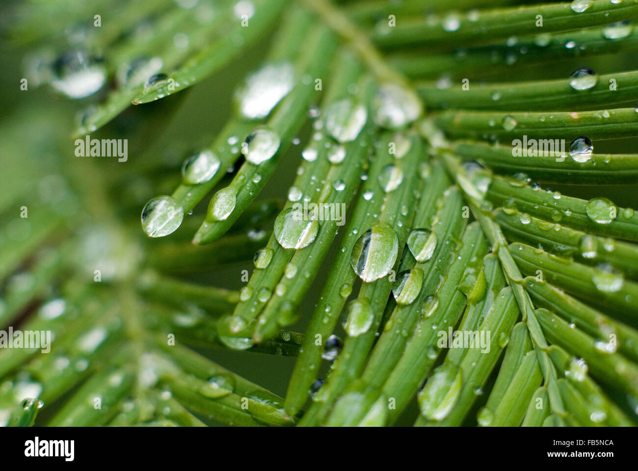 Waterdrops on Meta Sequoia(Metasequoia glyptostroboides) leaf - Stock Image