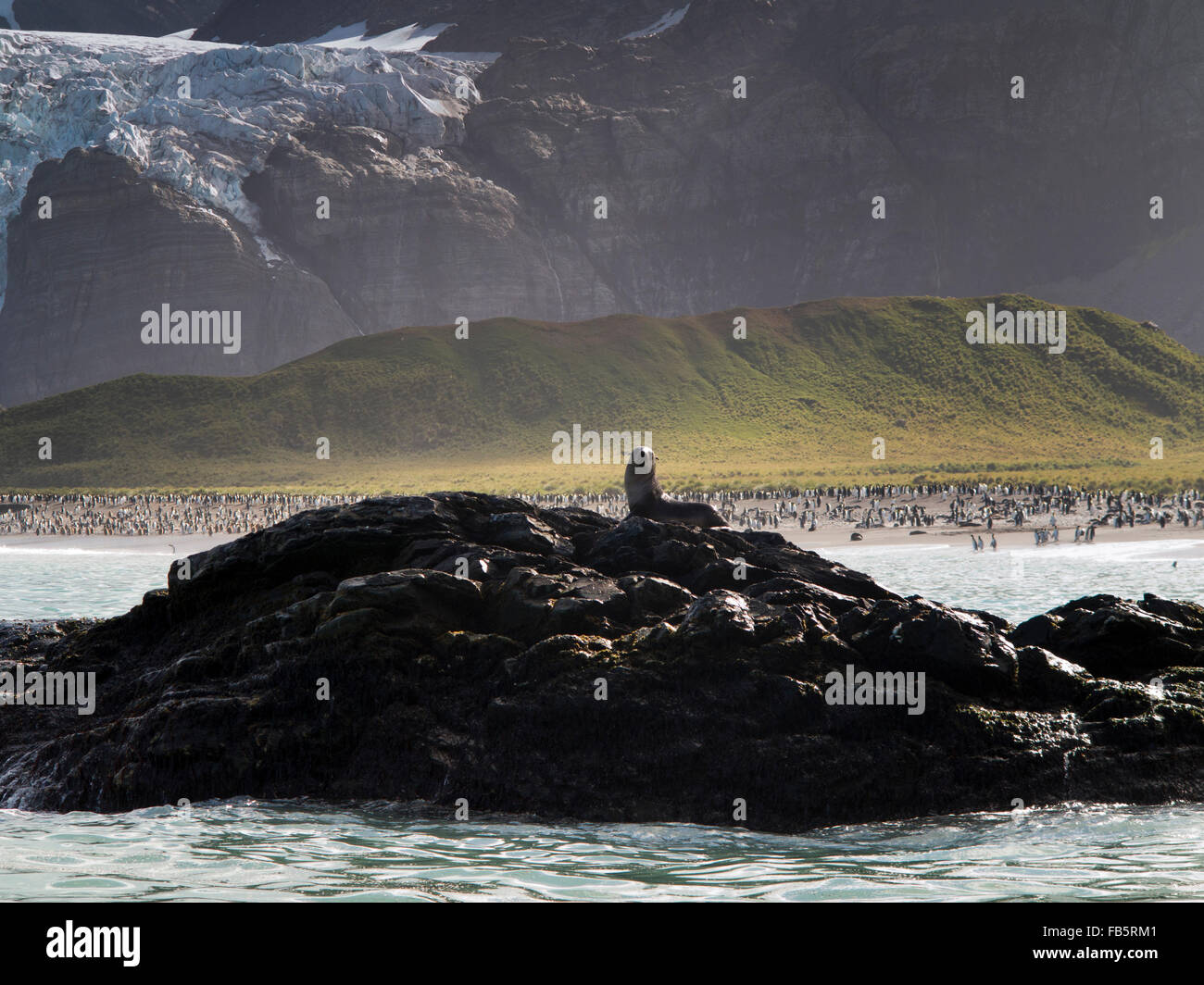 South Georgia, Gold Harbour, fur seal on rock - Stock Image