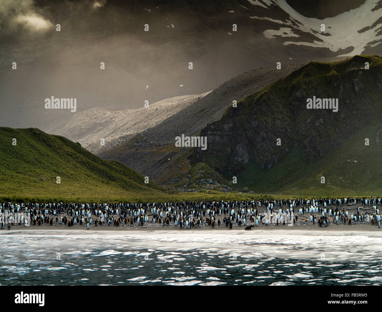 South Georgia, Gold Harbour, King Penguins on beach - Stock Image