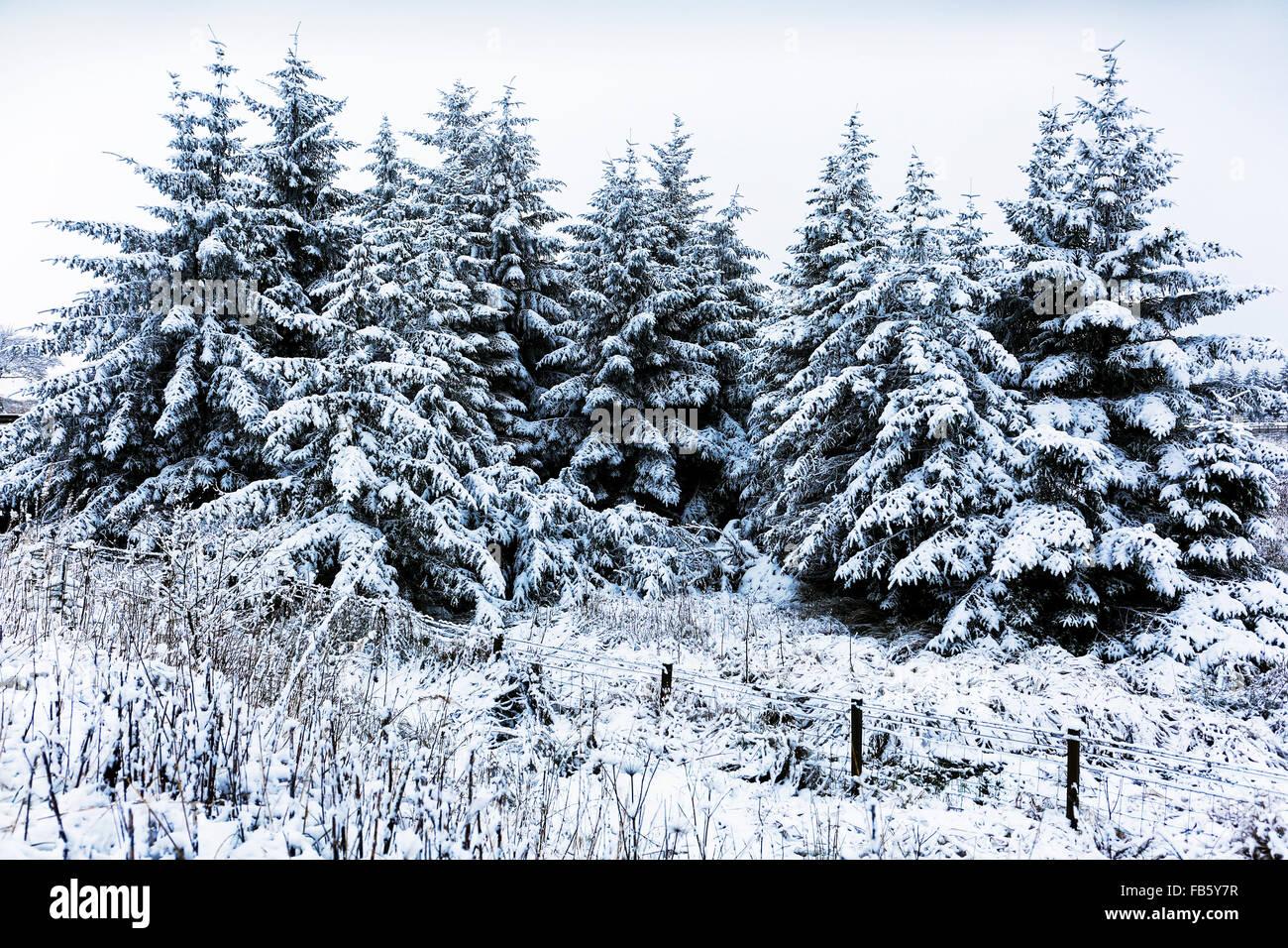 Fir trees with snow, winter, Scotland, UK - Stock Image