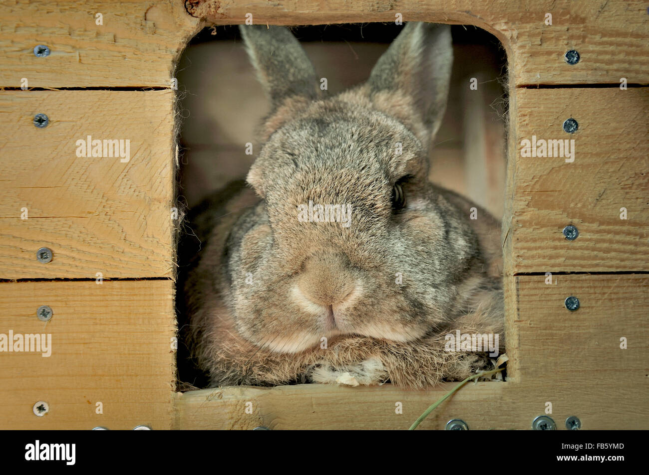 brown pet rabbit resting in wooden house - Stock Image
