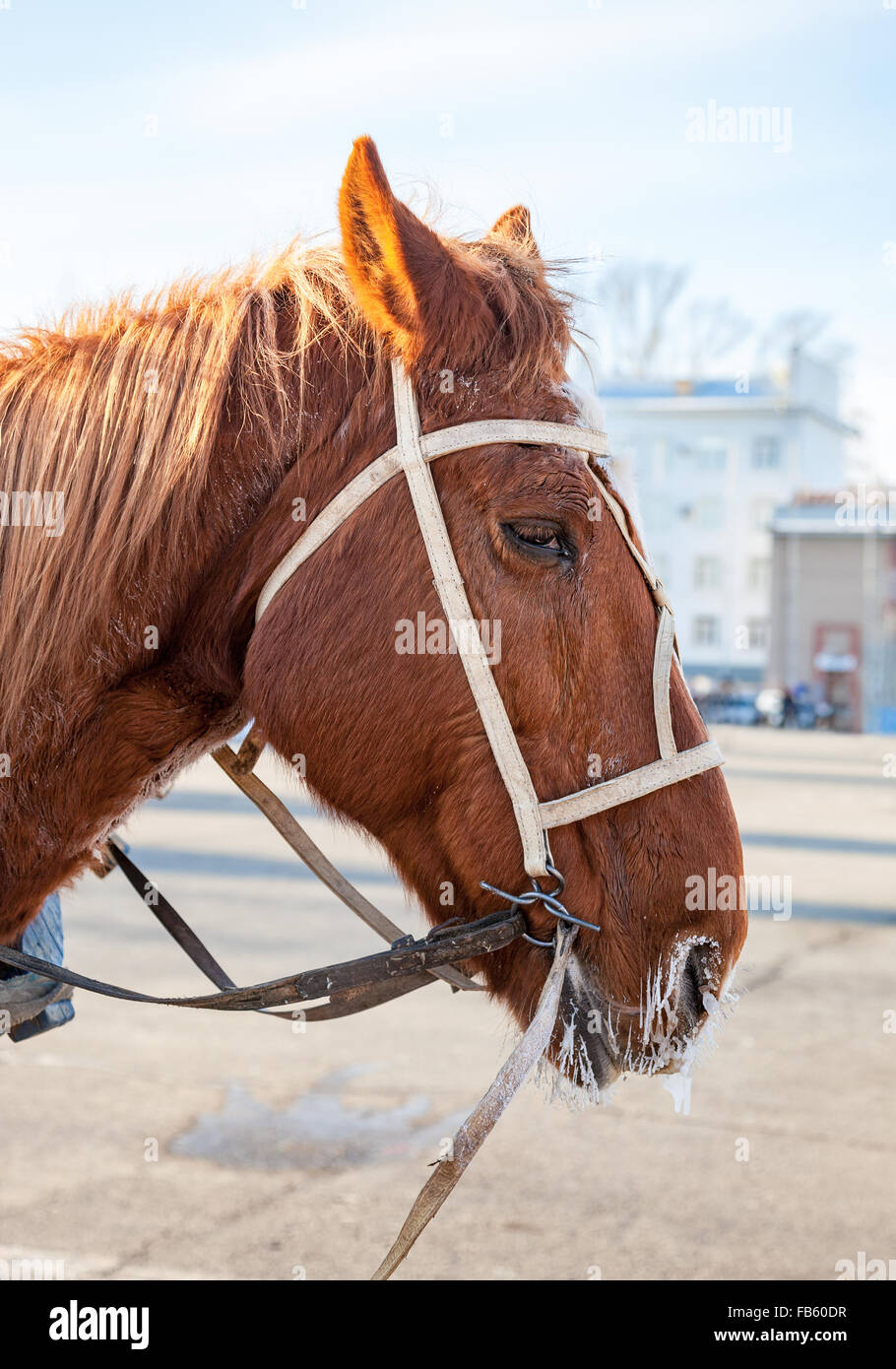 Head of brown horse with bridle and harness closeup - Stock Image