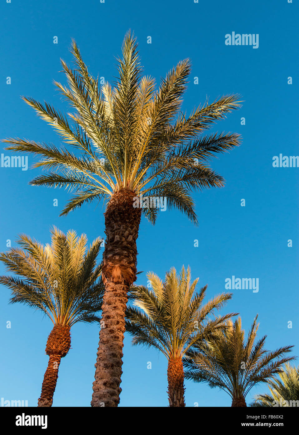 trimmed date palm trees (Phoenix dactylifera) in Nevada. - Stock Image