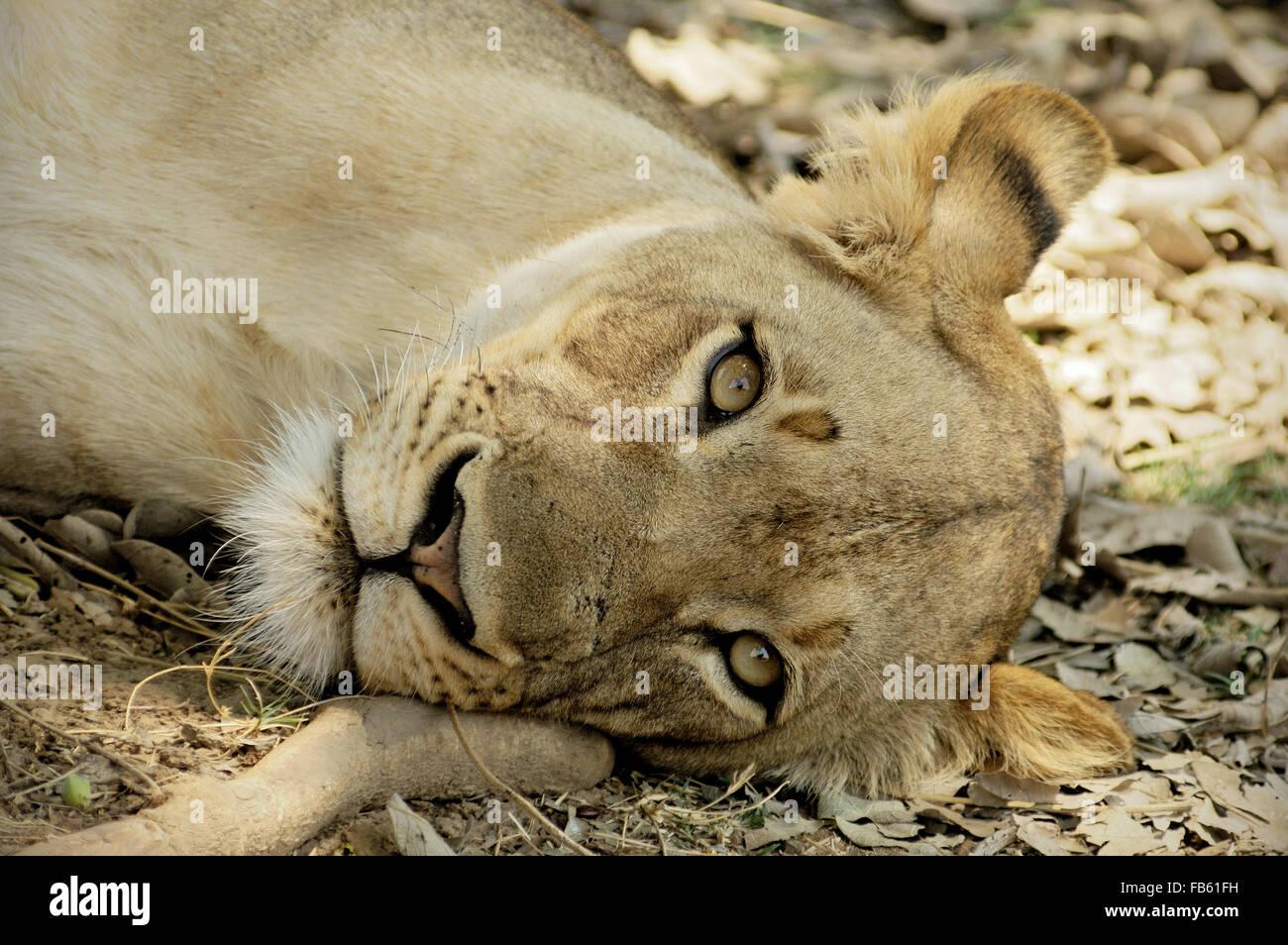 Closeup of a lioness (Panthera leo) lying inside South Luangwa National Park, Zambia Stock Photo