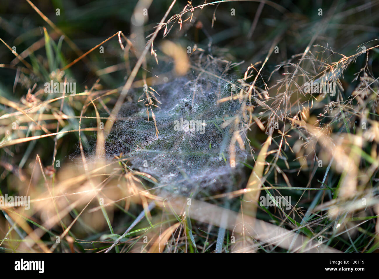 Spider web covered in dew, Ashdown Forest, UK - Stock Image