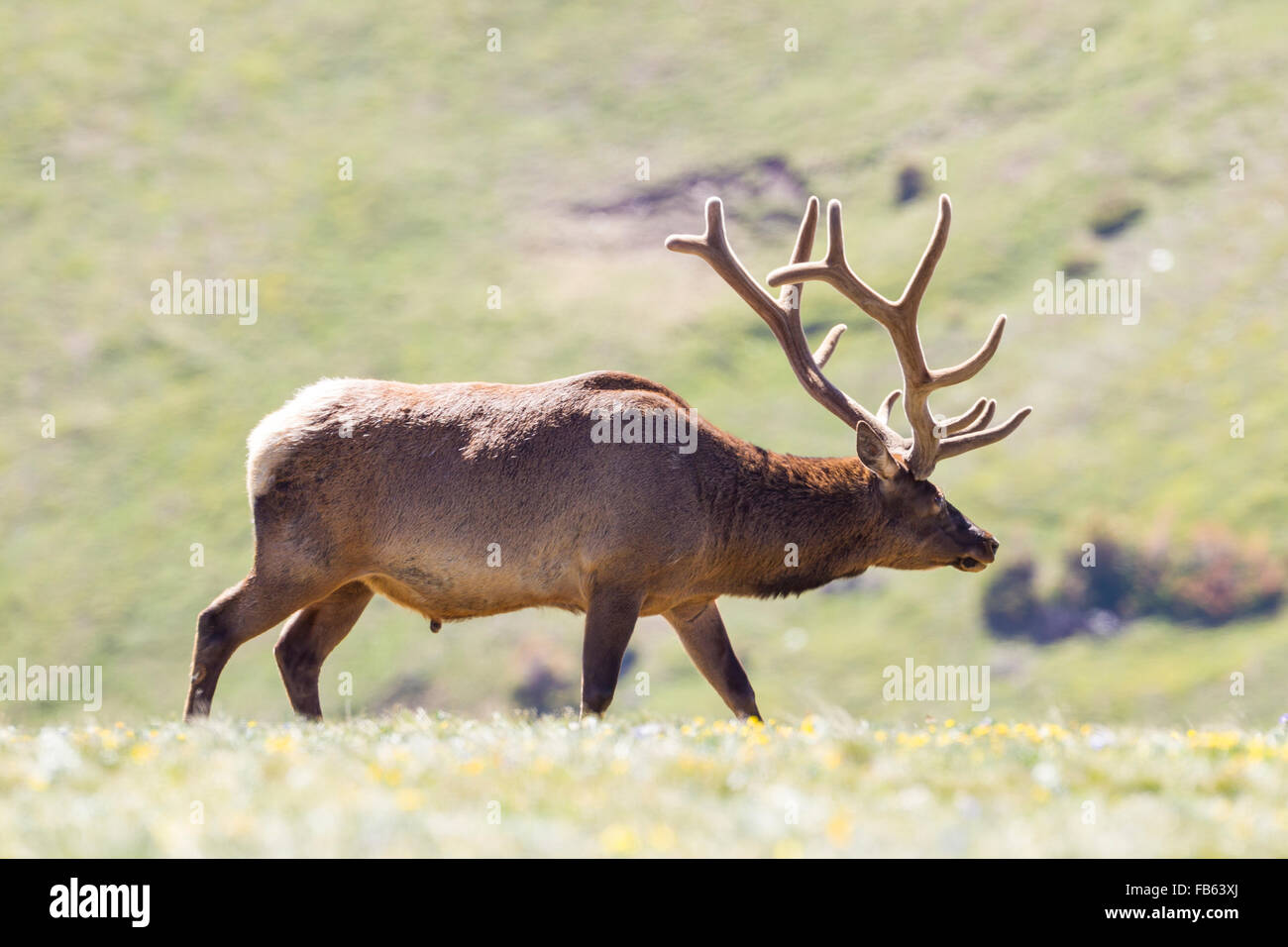 Elk graze in the colorado rockies - Stock Image