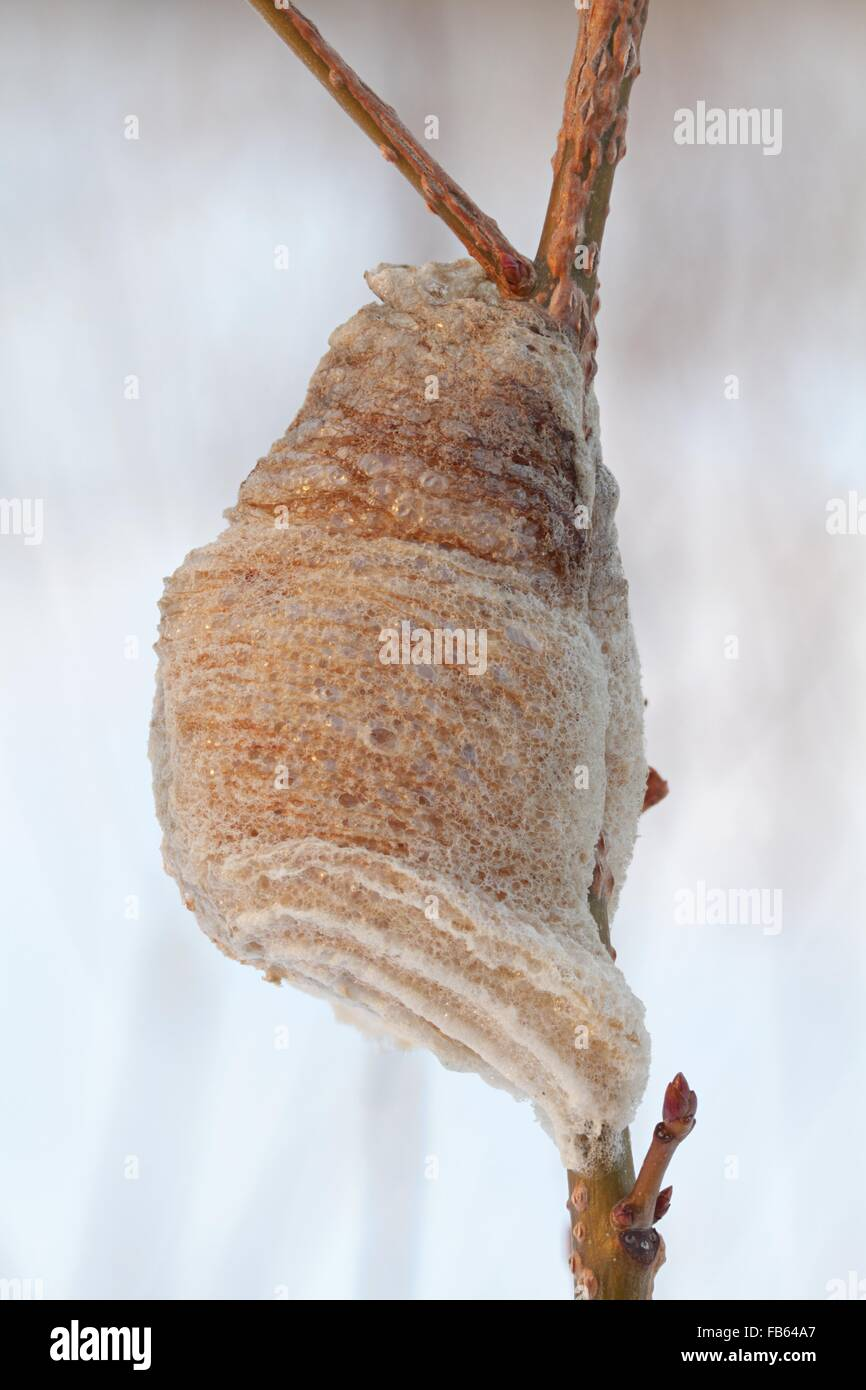 Close Up Photo Of A Praying Mantis Egg Case In Winter Rye New