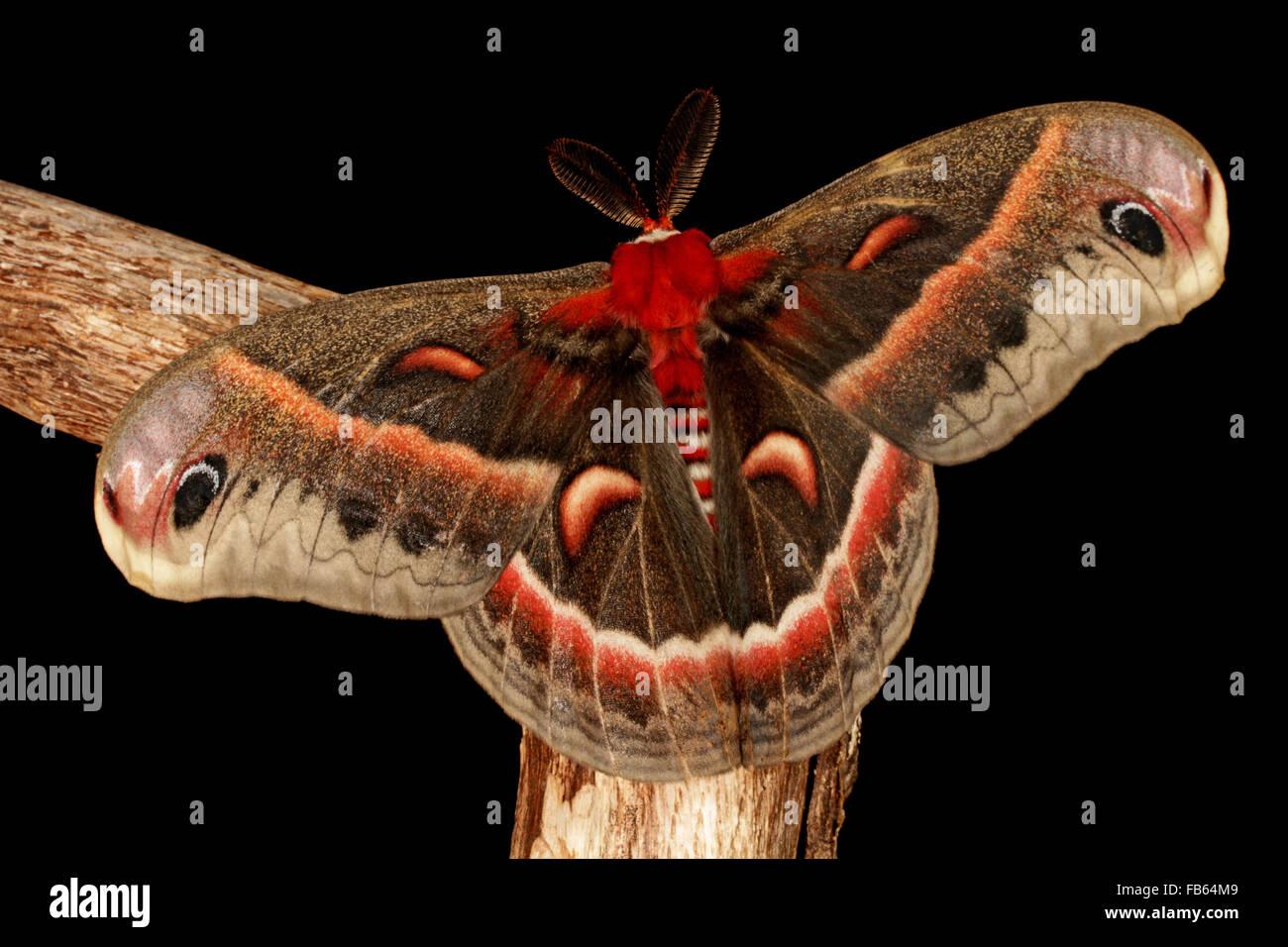 Adult cecropia moth male, Hyalophora cecropia - Stock Image
