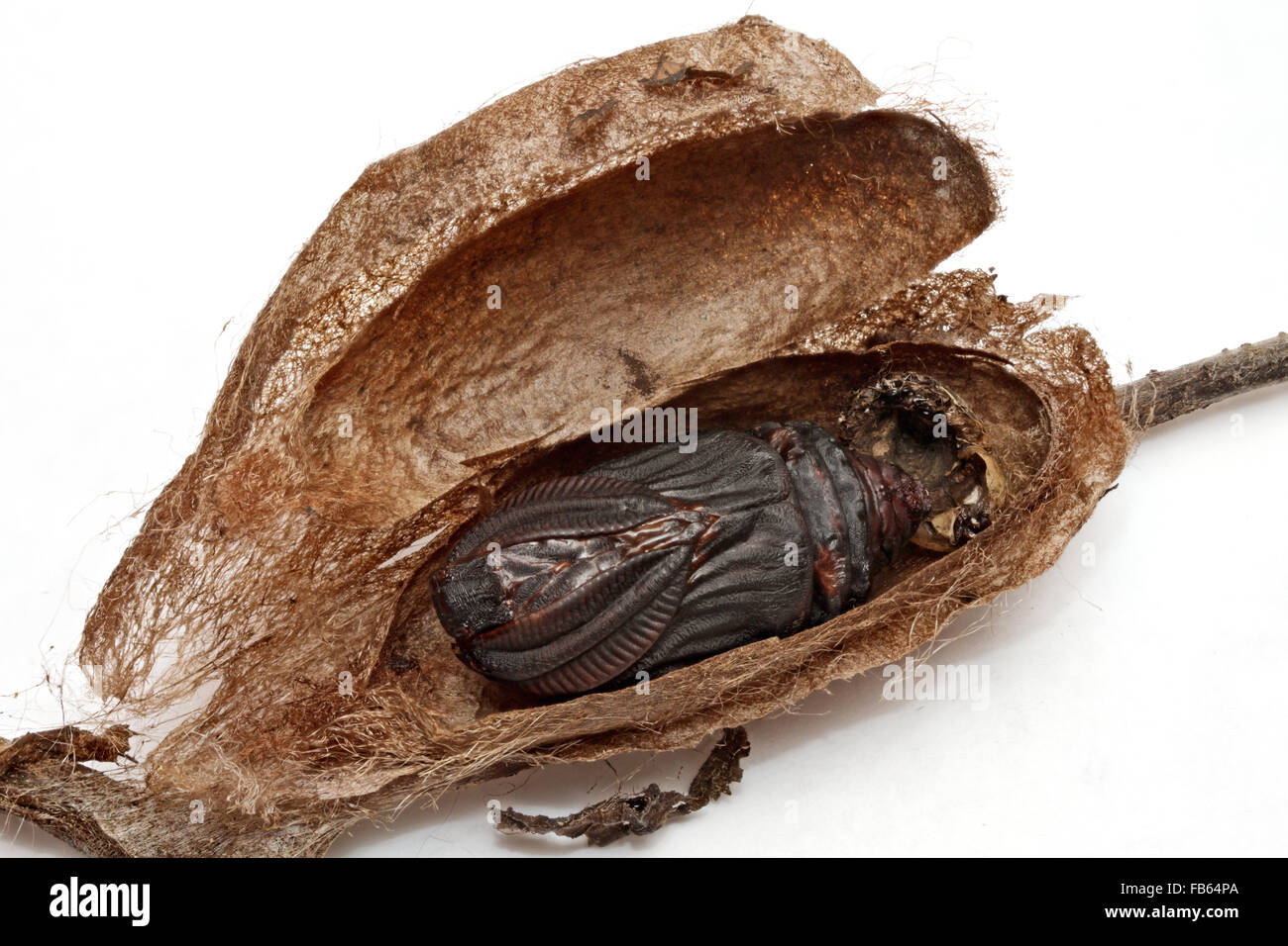 cocoon of a Cecropia moth, sliced open to reveal the exuvia (shed skin of the pupa) - Stock Image