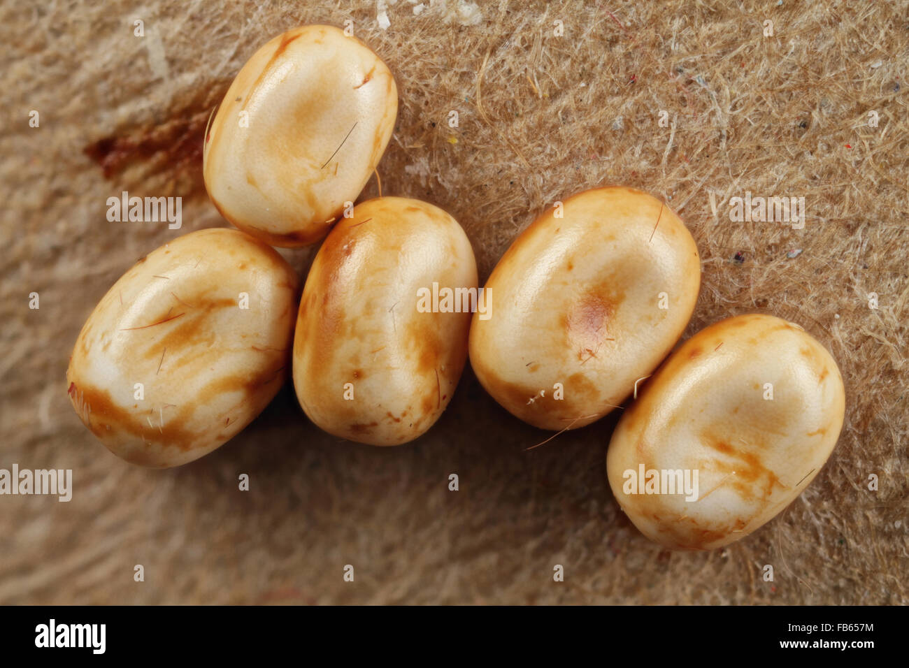 Eggs of the cecropia moth, Hyalophora cecropia. - Stock Image